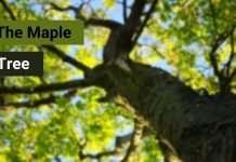 the-maple-tree